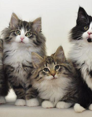 Hodowla kotów norweskich leśnych